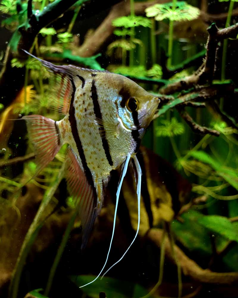 Angel Fish Photo by Jelle Faber